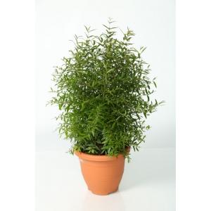 http://sinflora.com/img/p/103-145-thickbox.jpg