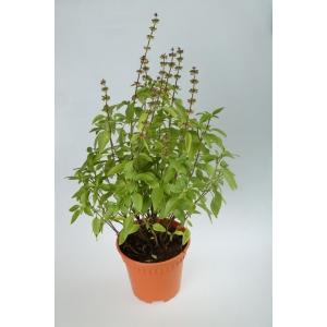 http://sinflora.com/img/p/165-214-thickbox.jpg