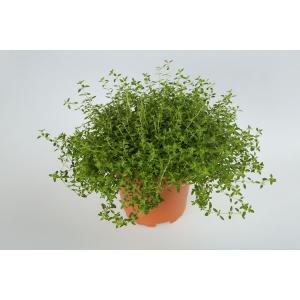 http://sinflora.com/img/p/166-215-thickbox.jpg