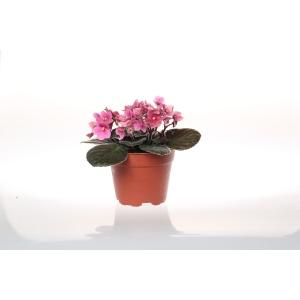 http://sinflora.com/img/p/168-217-thickbox.jpg