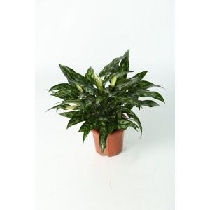 http://sinflora.com/img/p/169-218-thickbox.jpg