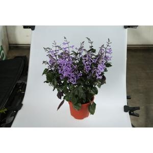 http://sinflora.com/img/p/170-219-thickbox.jpg
