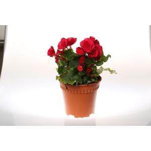http://sinflora.com/img/p/173-222-thickbox.jpg