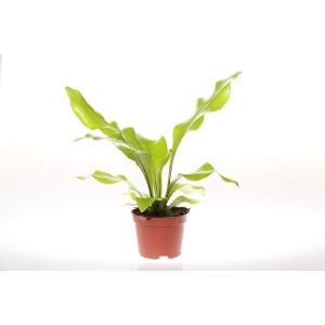 http://sinflora.com/img/p/176-225-thickbox.jpg