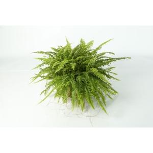 http://sinflora.com/img/p/177-226-thickbox.jpg