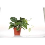 Epipremnum pictum argyraeum