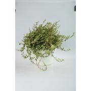 Ficus Sunny White
