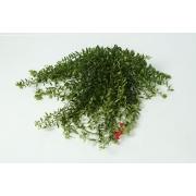 Lipstick plant (Aeschynanthus)