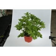 Mosquito plant (Geranium)