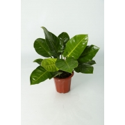 Philodendron (Gold)