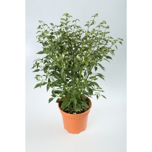 http://sinflora.com/img/p/21-69-thickbox.jpg