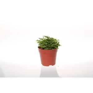 http://sinflora.com/img/p/22-70-thickbox.jpg