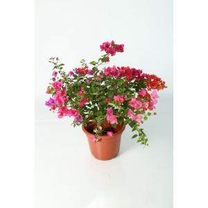 http://sinflora.com/img/p/224-271-thickbox.jpg