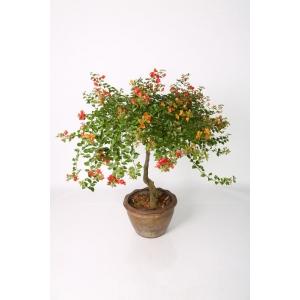 http://sinflora.com/img/p/225-272-thickbox.jpg