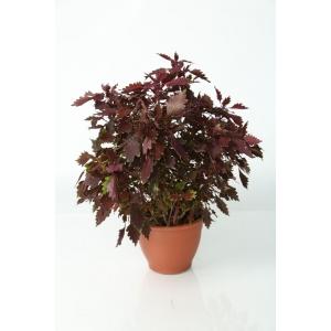 http://sinflora.com/img/p/226-273-thickbox.jpg