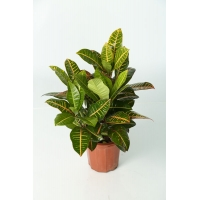 Croton (Codiaeum variegatum cultivars)