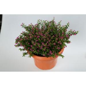 http://sinflora.com/img/p/231-278-thickbox.jpg