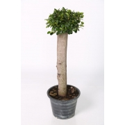 Ficus ball