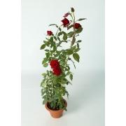 Rose pot 220