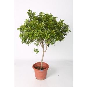 http://sinflora.com/img/p/27-73-thickbox.jpg