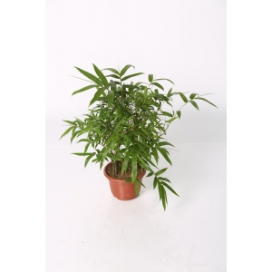 http://sinflora.com/img/p/28-74-thickbox.jpg