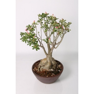 http://sinflora.com/img/p/35-64-thickbox.jpg