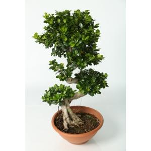 http://sinflora.com/img/p/98-140-thickbox.jpg
