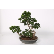 Ficus bonsia boatshape